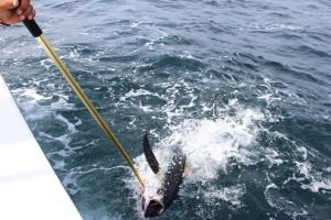 A pole is being used to grab tuna out of the water